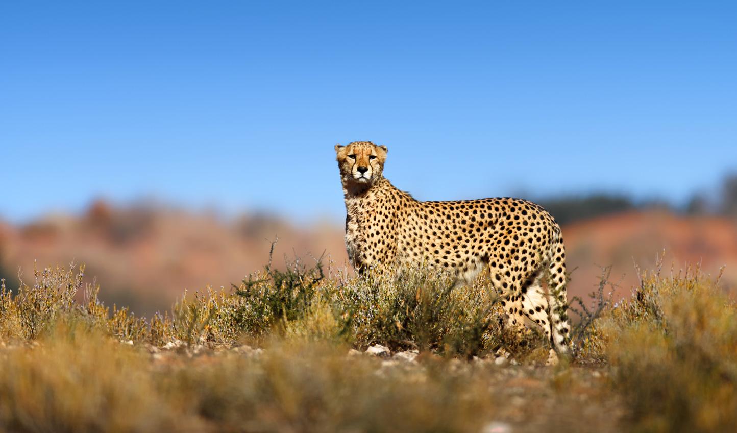 Spot cheetahs out on the Kalahari