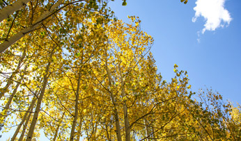 Fall foliage in Aspen