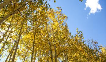 Fall foliage in Aspen