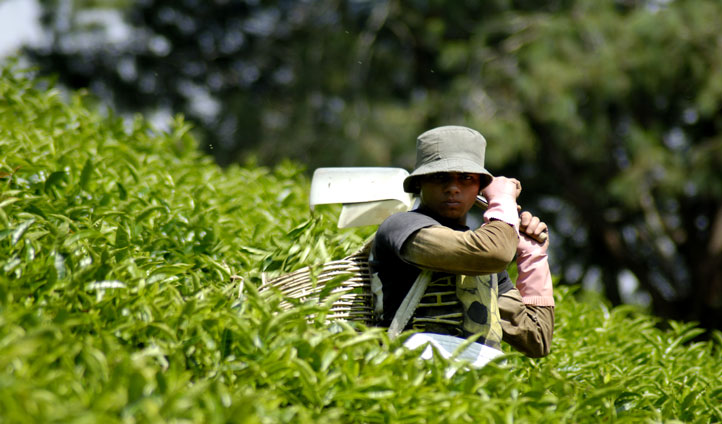 Watch how tea is traditionally collected