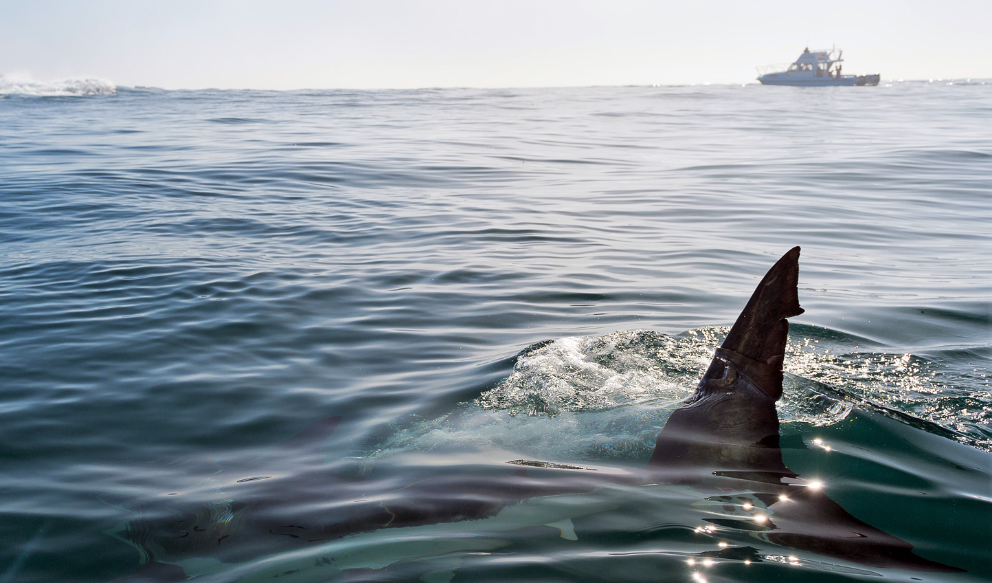Take the plunge and swim with Great Whites