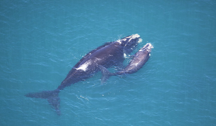 Southern Right Whales, South Africa | Black Tomato