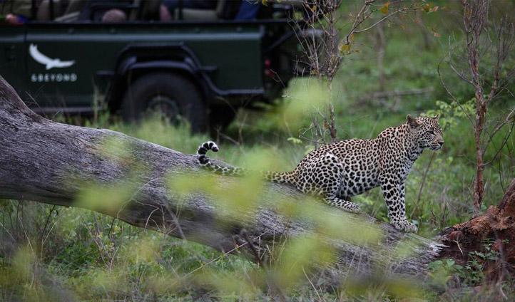 Jaguar spotting at Kirkman's Kamp