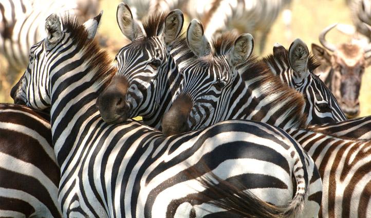 Zebra at Phinda