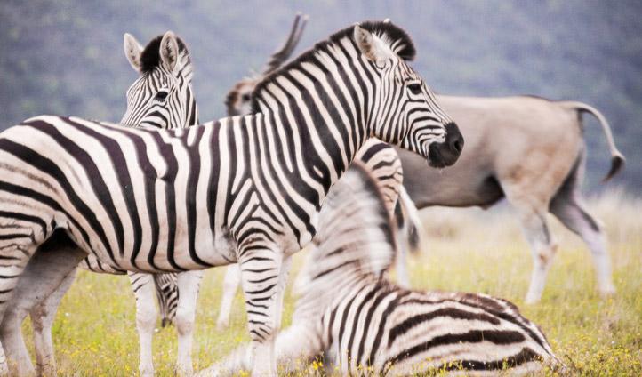 eastern cape zebra