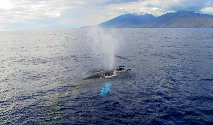Spot humpback whales in the Pacific Ocean