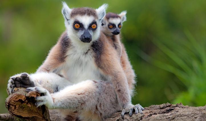Lemurs, in Madagascar