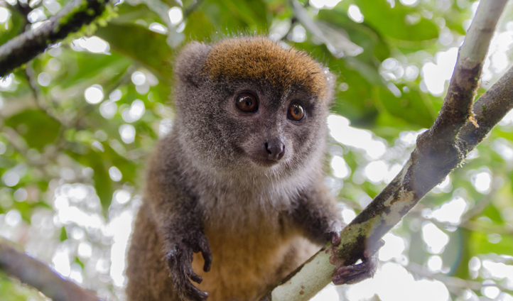 Spot lemurs in the tree tops