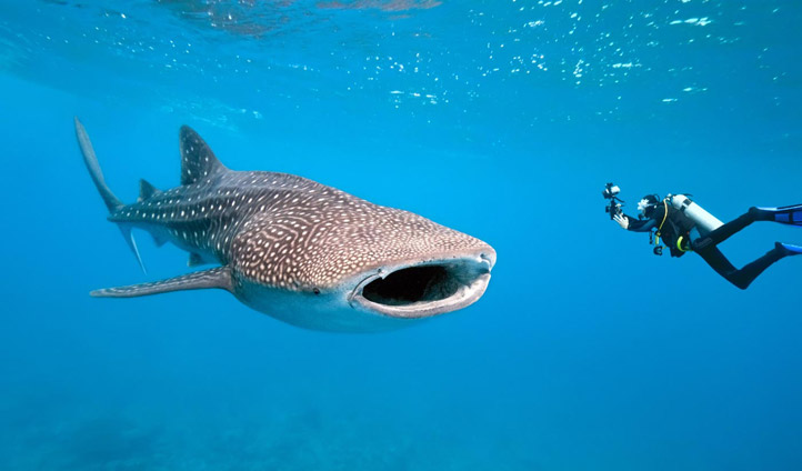 Whale Sharks can be found off the coast of Western Australia
