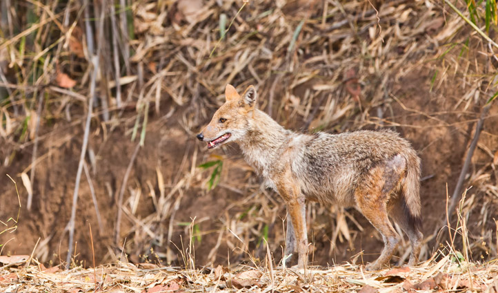 Keep your eyes peeled for golden jackals.
