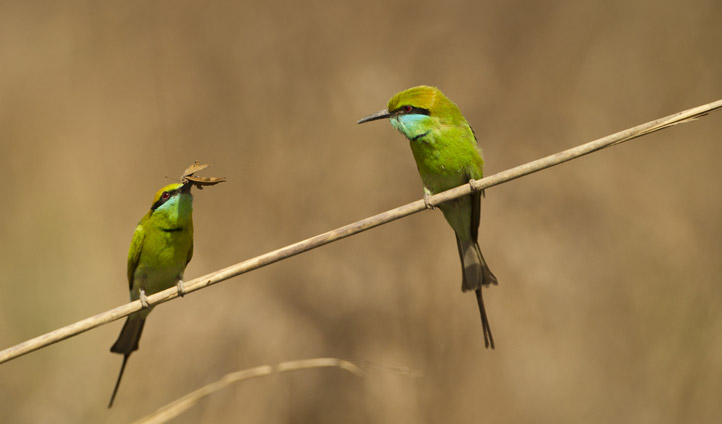 Spot bee-eaters.