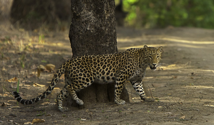 Leopards in Kanha National Park.