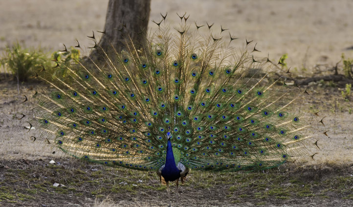 Listen to the peacock alarm calls.