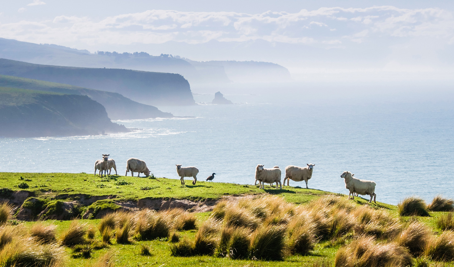 The Annandale sheep roaming the farm