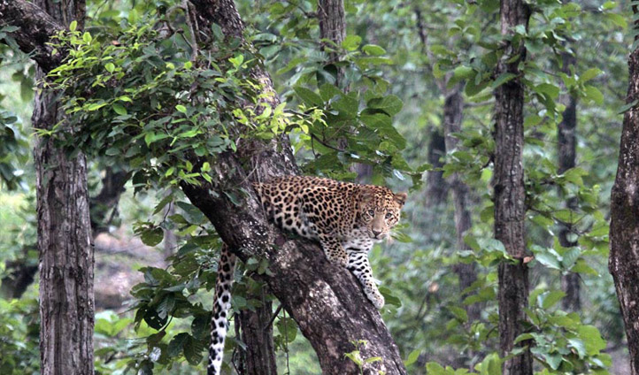 Spot Leopards in Bhandavgarh.