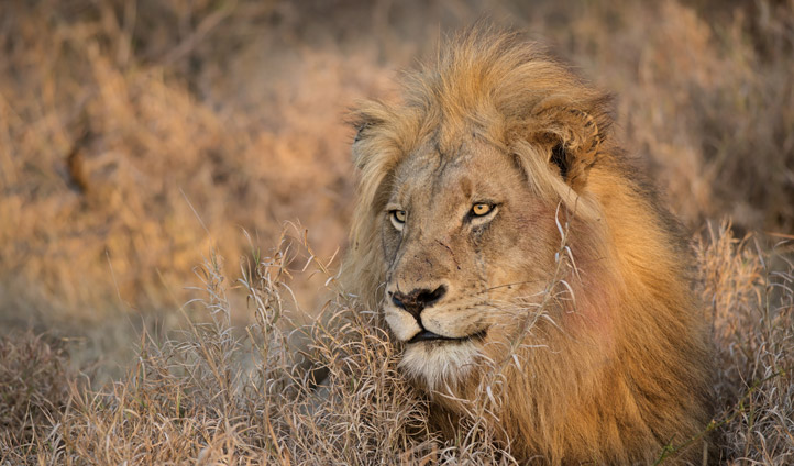 A lion in Kruger National Park
