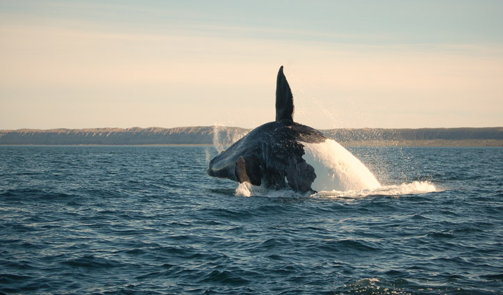 Southern Right Whale off the coast of Patagonia, Argentina | Black Tomato