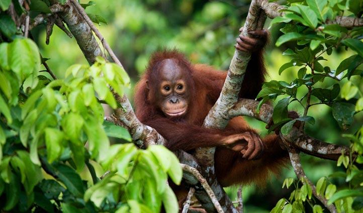 Baby orangutan in Borneo | Black Tomato