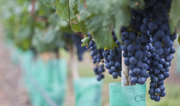 World-class grapes at your fingertips