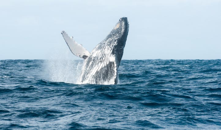 Humpback whale in Madagascar | Black Tomato