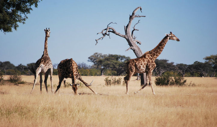 Giraffes are frequently seen at Somalisa.