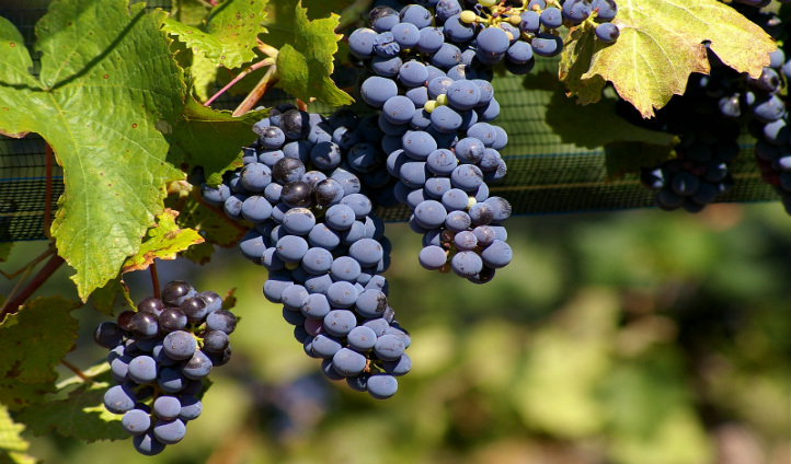Have a go at harvesting malbec grapes