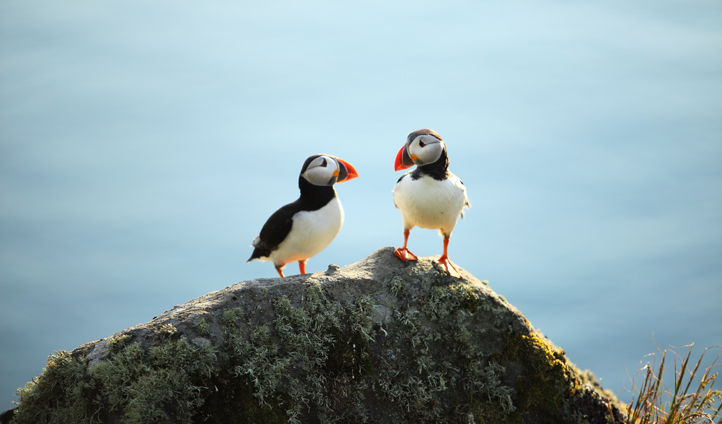 Spot friendly puffins on the cliffside