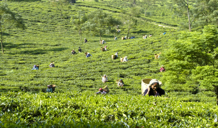 Observe tea pickers at work