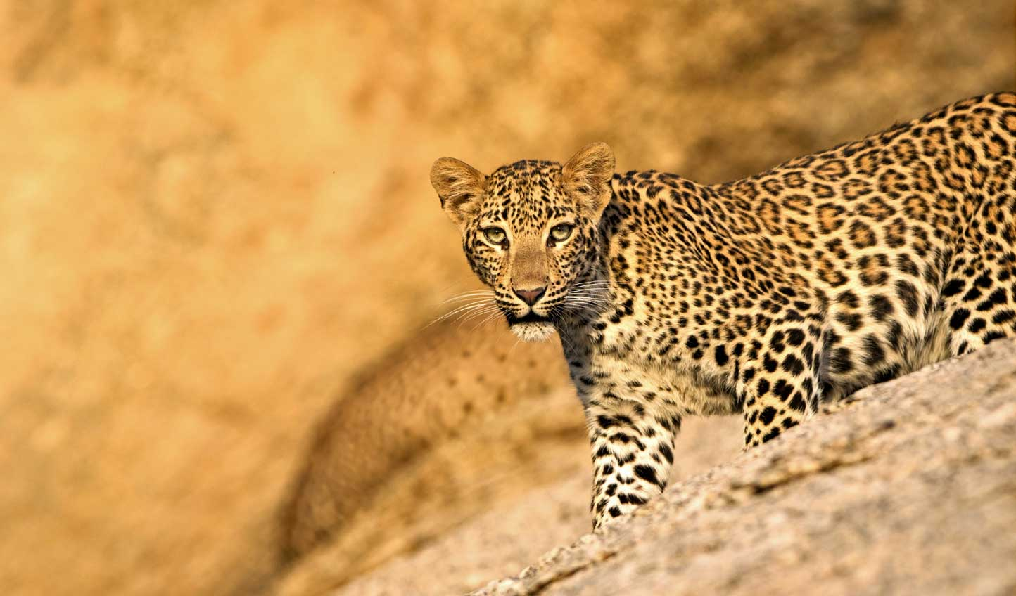 Come face to face with those that prowl through Jawai
