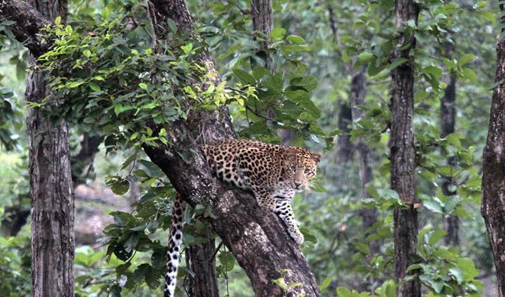 Bhandhavgarh Leopard