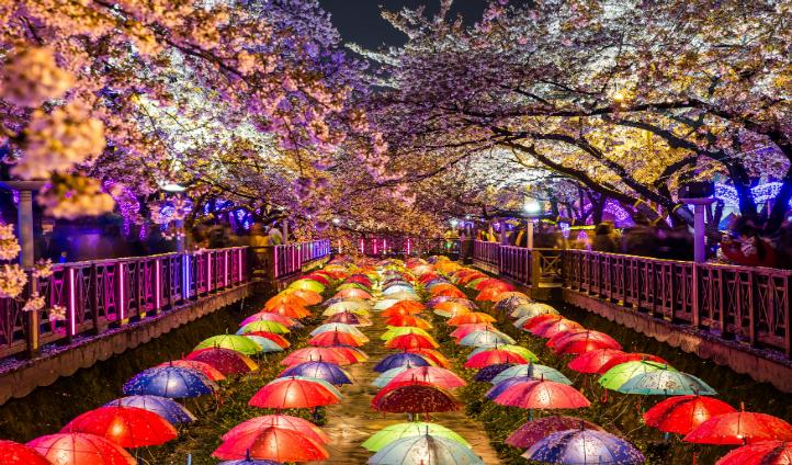 Cherry blossoms Busan, South Korea