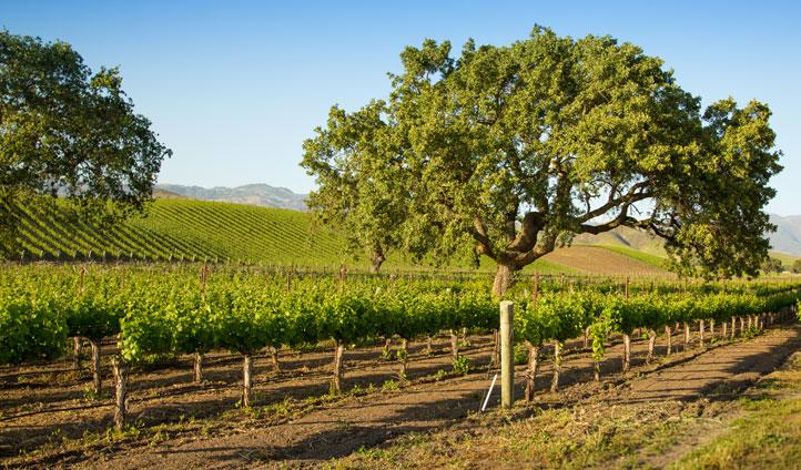A vineyard in Santa Barbara