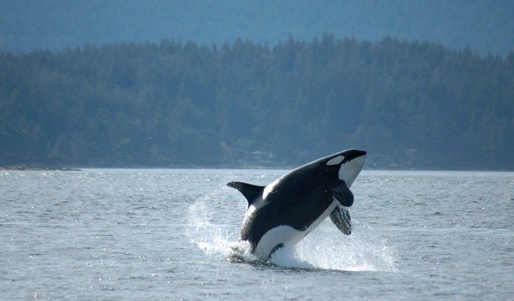 A whale breaches in Seattle