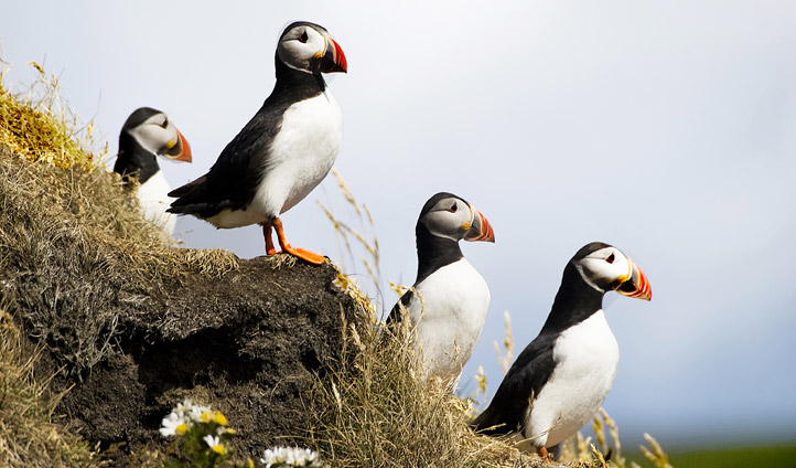 Puffins in southern iceland