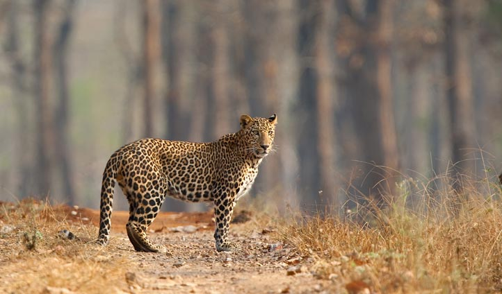Wild leopard in Rajasthan, India