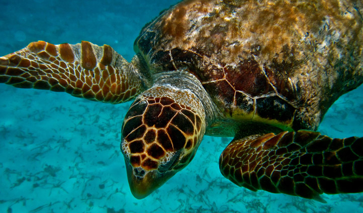 Diving with the turtles in Belize