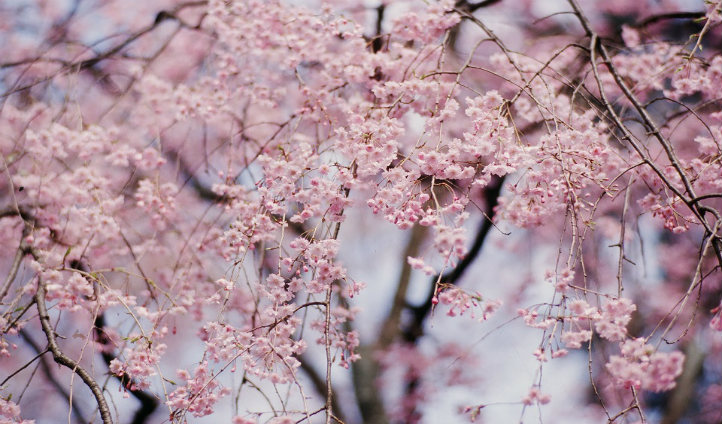 Beautiful blossom trees