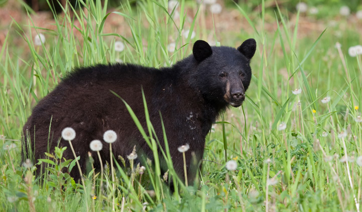 A black bear hides amongst the grasses in Canada