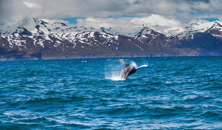 A Humpback whale, Iceland