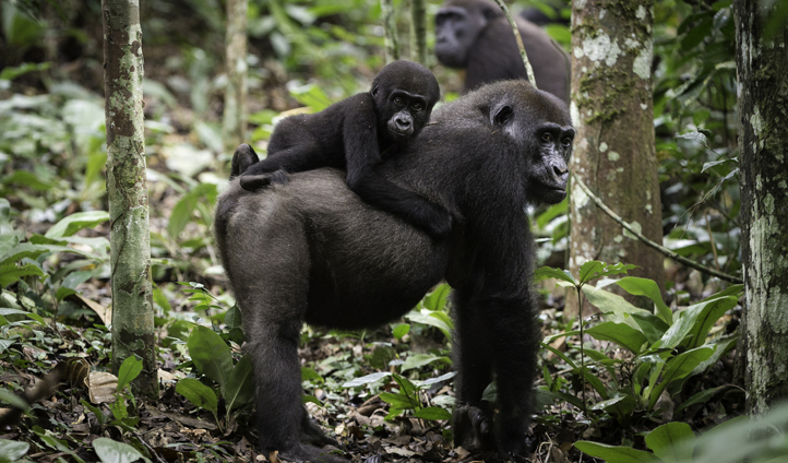 Spot families of gorillas in the wild