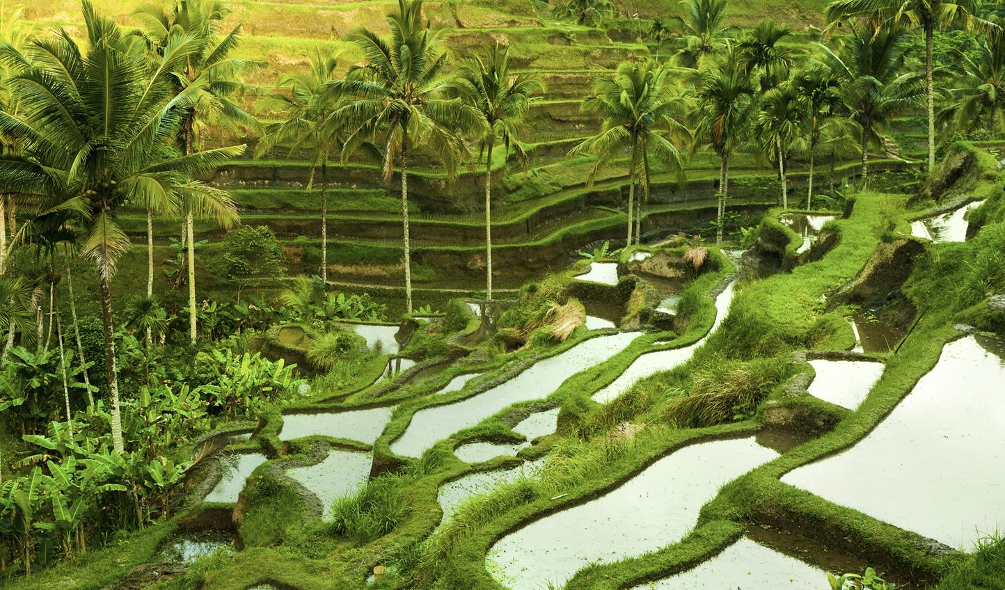 The verdant rice paddies of Ubud