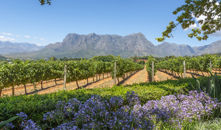 Stroll through the vineyards in Franschoek