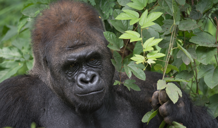 The mighty Western Lowland Gorilla