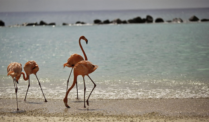 Flamingos roaming on Renaissance Island
