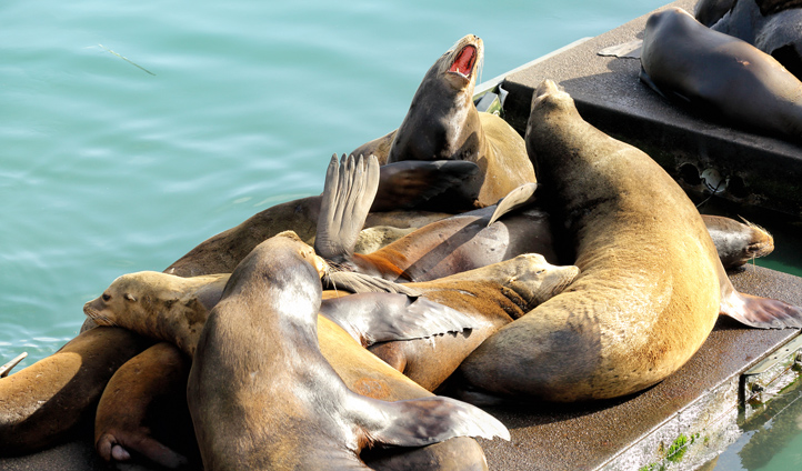 Raucous and rowdy sea lions in Newport