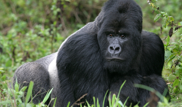 Come face to face with majestic Silverbacks
