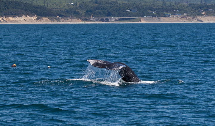 Head out to see in search of majestic grey whales