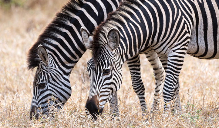 Search for zebras in the rolling grasslands of Majete National Park