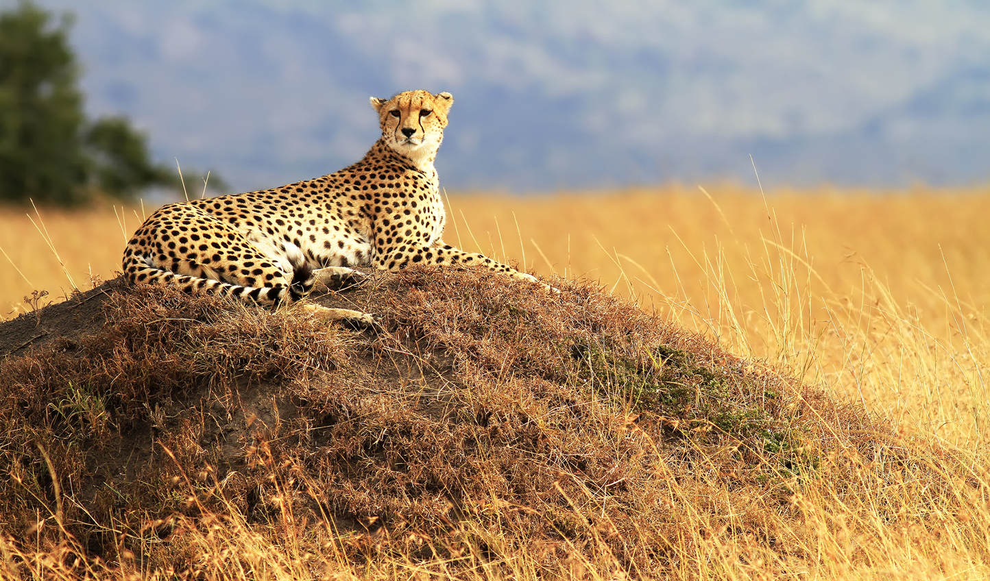 A cheetah overlooking the wild plains