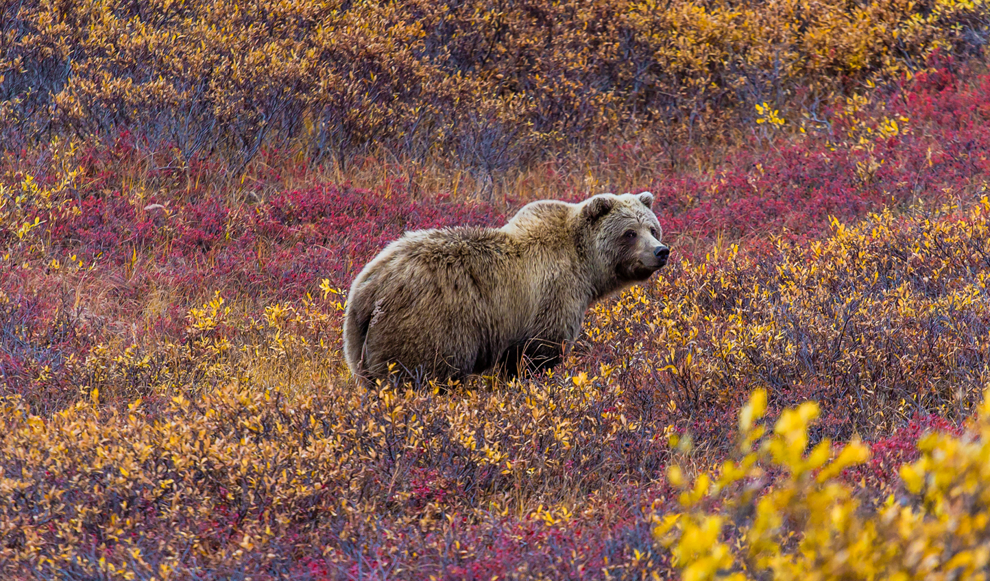 Spot grizzlies in Denali